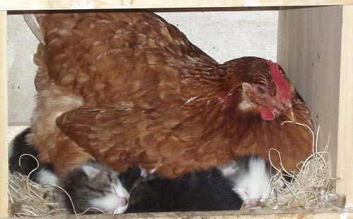 Hen & Kittens